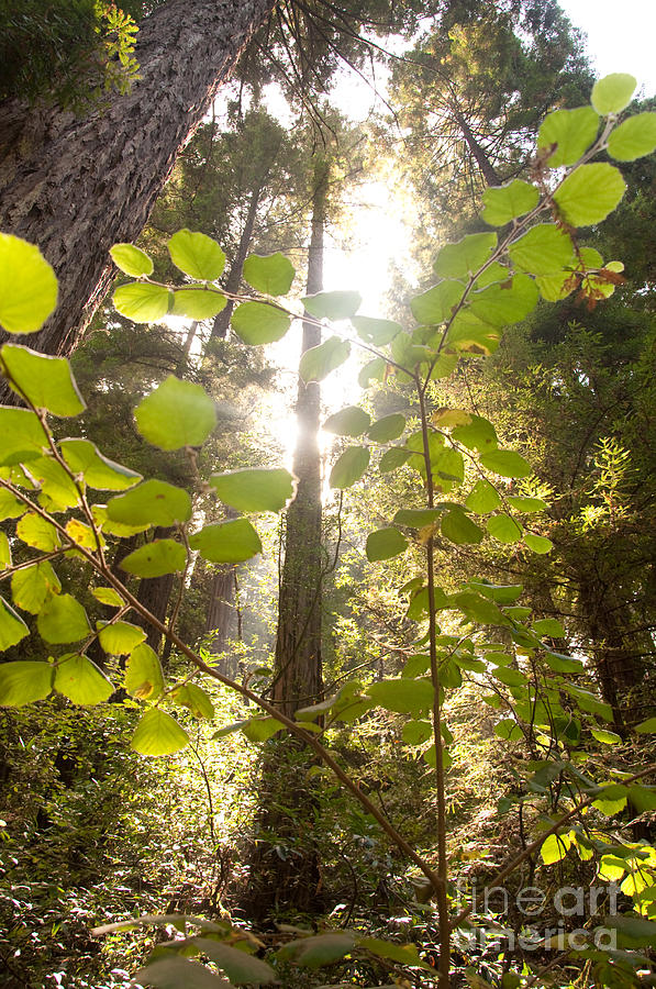 Love Photograph - Muir Woods Magic by Rossi Love