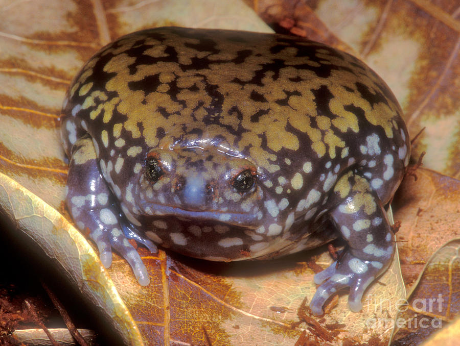 Goias Photograph - Mullers Termite Frog by Dante Fenolio