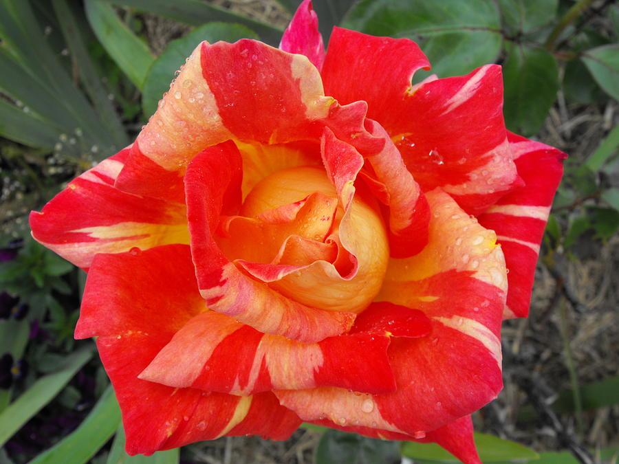 Multi Coloured Rose by Marlene Challis