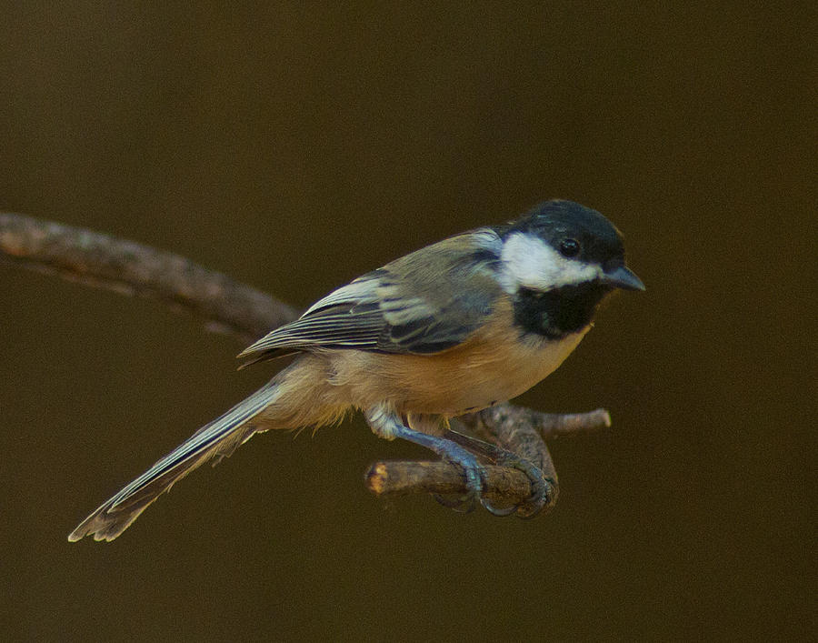 Black-capped Chickadee Photograph - Multicolored Chickadee by Don Wolf