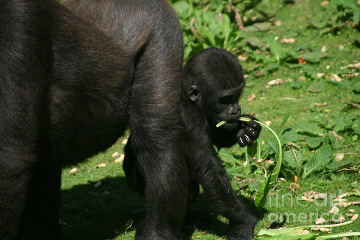 Baby Gorilla Photograph - Mums Not Looking by Carol Wright