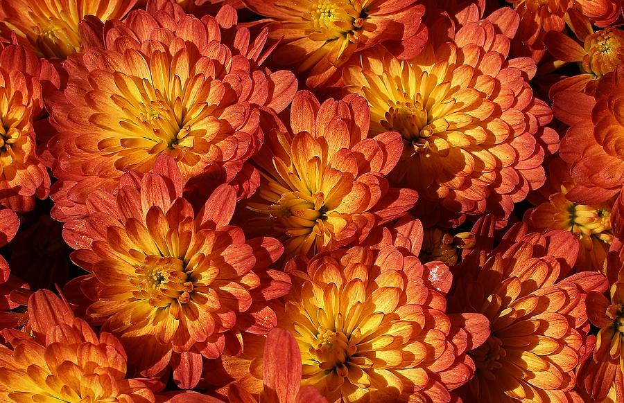 Flora Photograph - Mums Of A Different Color by Bruce Bley