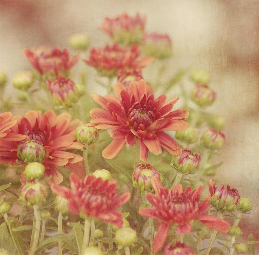Flower Photograph - Mums The Word by Kim Hojnacki