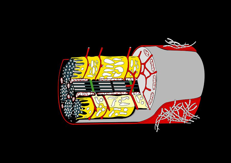 Muscle Cell Anatomy Artwork Photograph By Francis Leroy Biocosmos