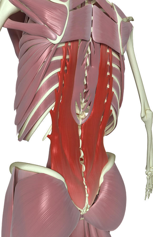 Vertical Photograph - Muscles Of The Back by MedicalRF.com