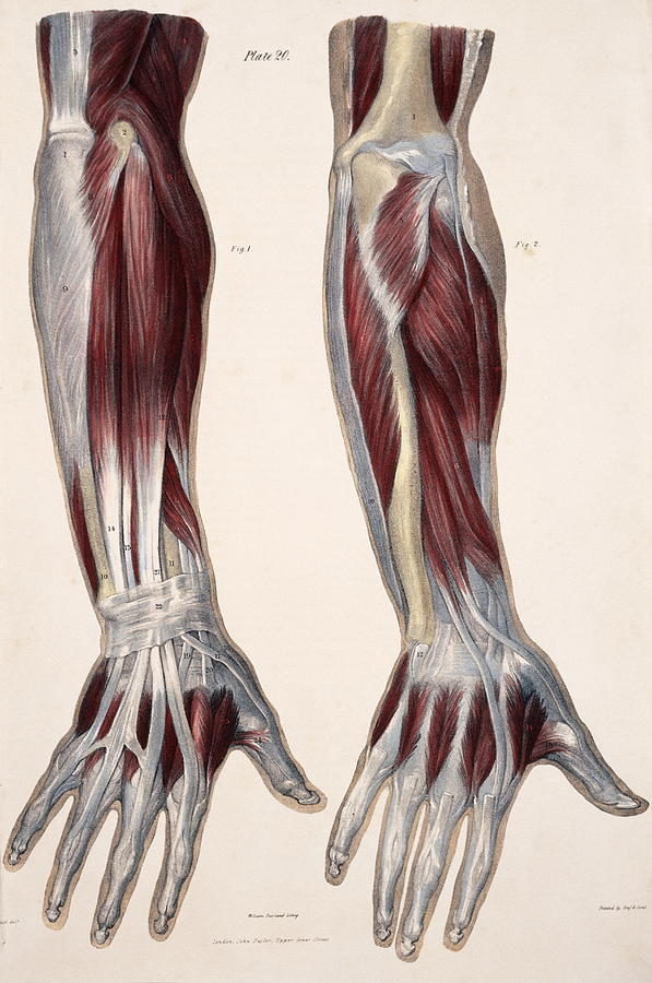 Muscles Of The Hand And Forearm Photograph by Sheila Terry