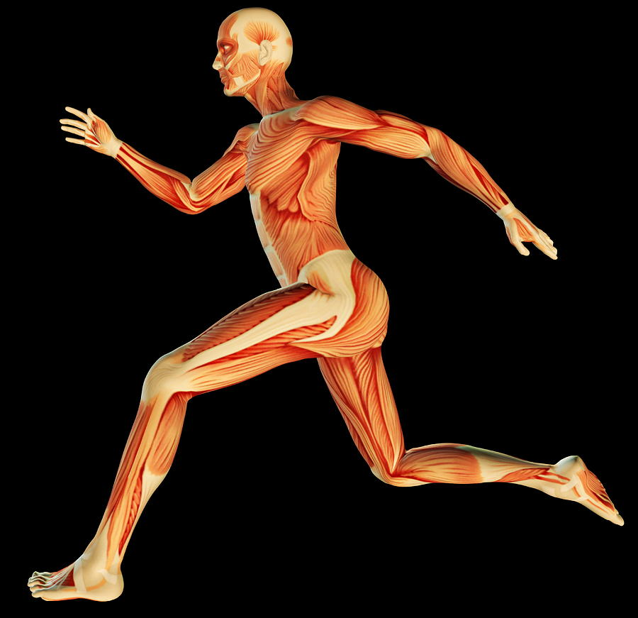 Muscular System Photograph - Muscular System by Pasieka