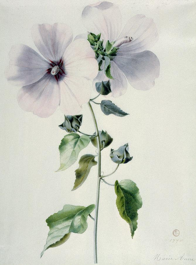 18th Century Painting - Musk Mallow by Marie-Anne