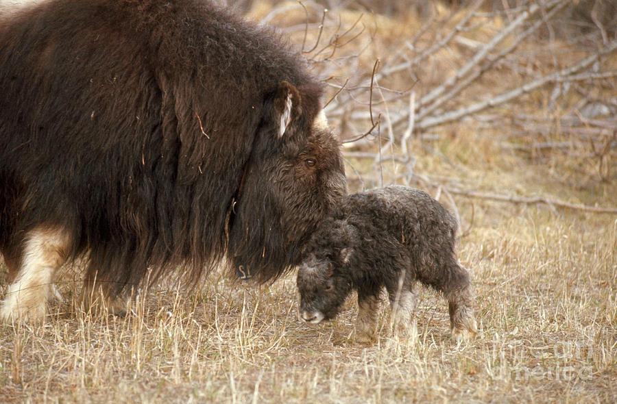 Animal Photograph - Musk Ox Cow And New Calf by Joseph Rychetnik