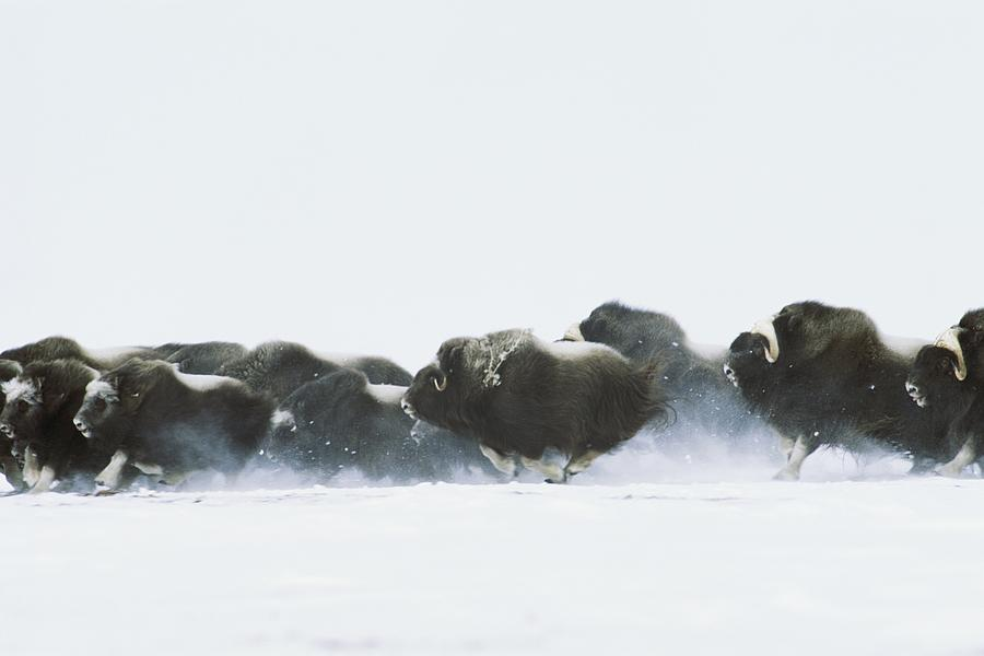 Day Photograph - Musk-oxen, Ovibos Moschatus, Flee by Norbert Rosing