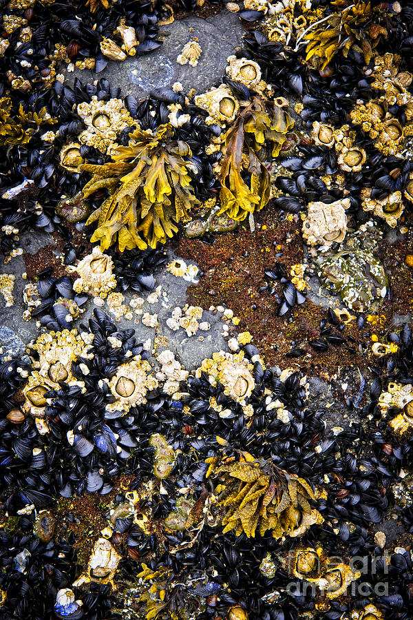 Mussels Photograph - Mussels And Barnacles At Low Tide by Elena Elisseeva