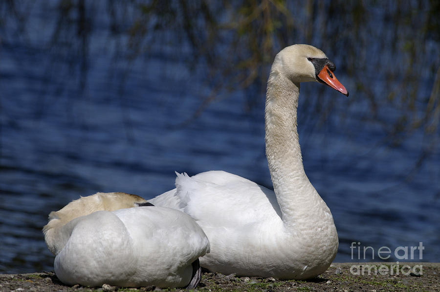Mute Swans Photograph - Mute Swans By Lagoon by Sharon Talson