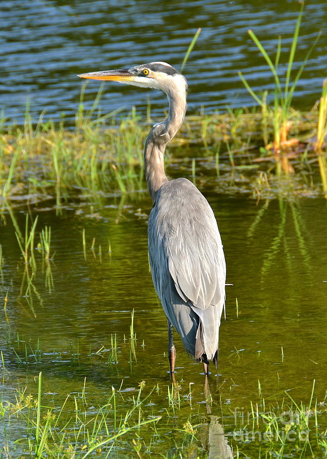Heron Photograph - My Blue Heron II by Carol  Bradley