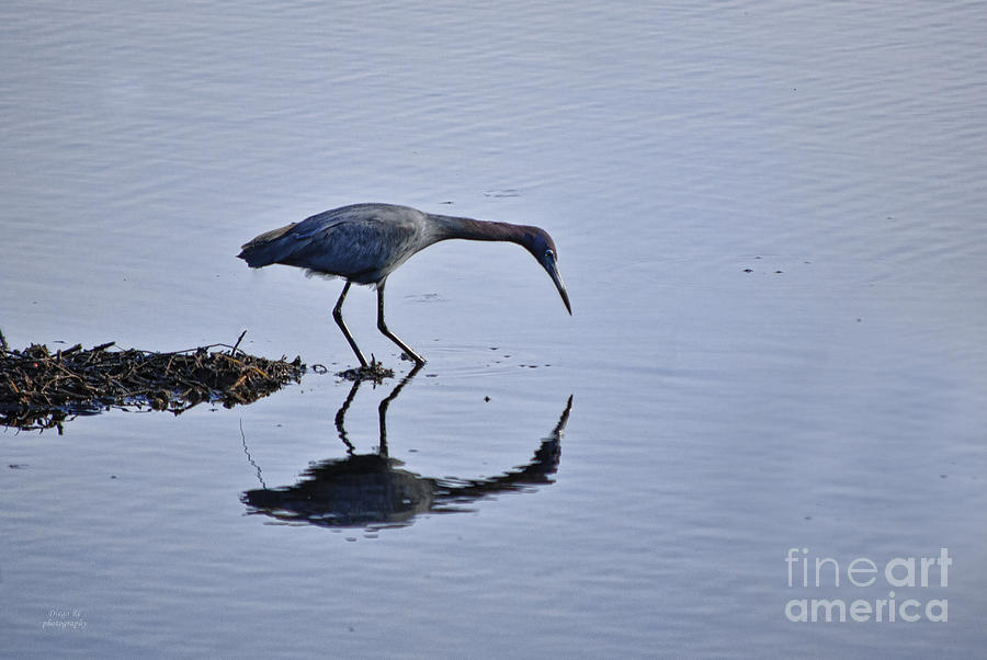 Bird Photograph - My Blue Reflection by Diego Re