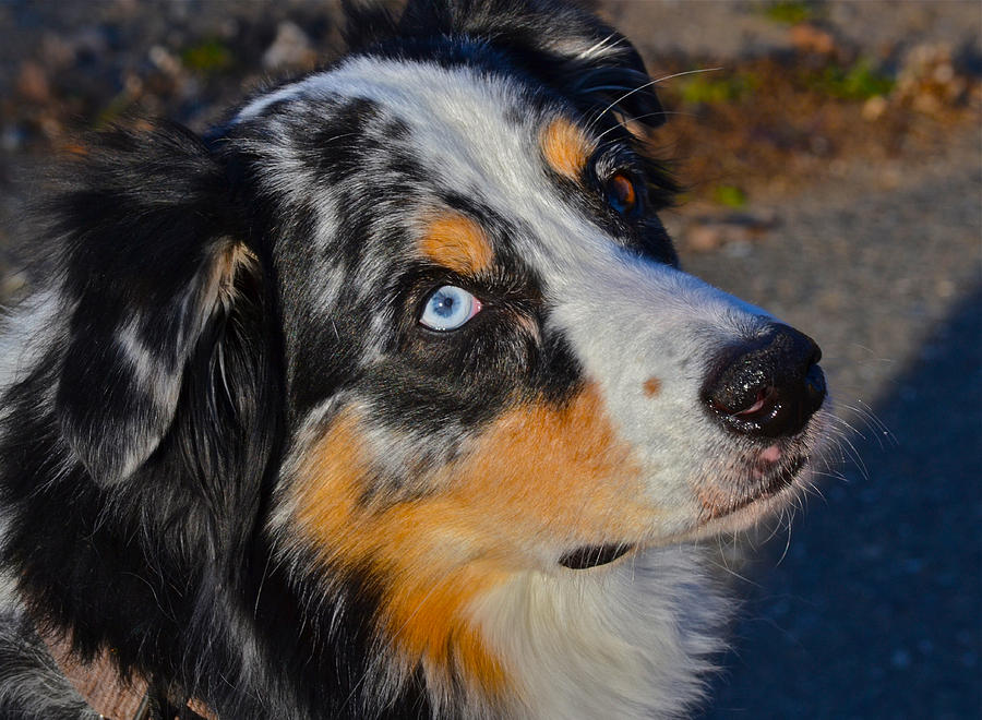 Brown Dog With Blue Eyed