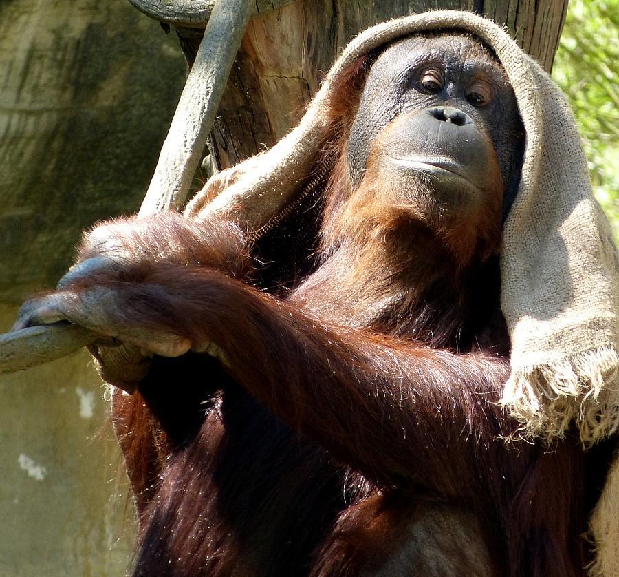 Monkeys Photograph - My New Hat. by Lynette McNees