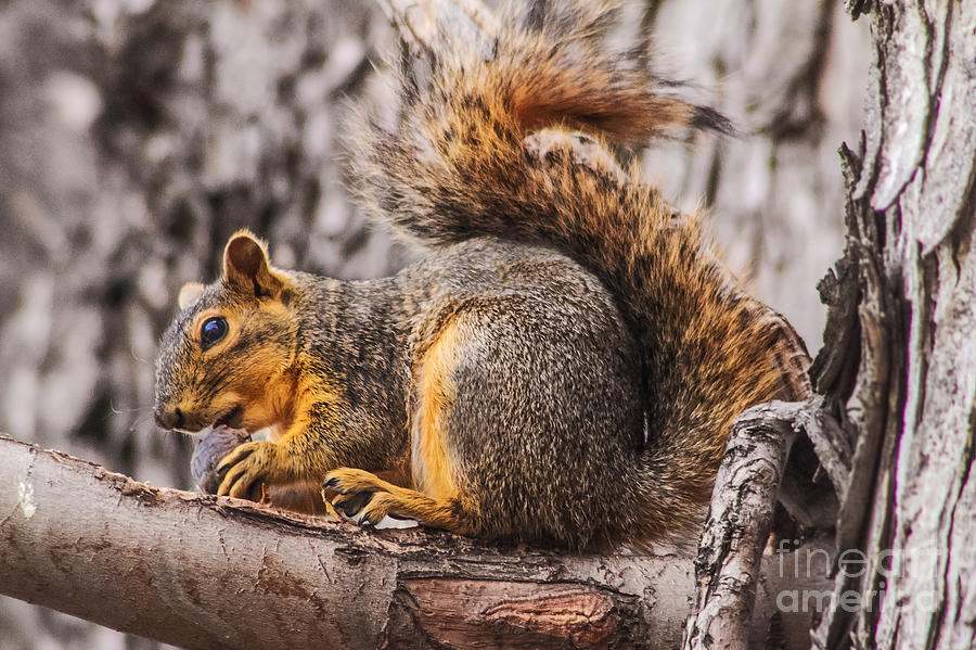 Squirrel Photograph - My Nut by Robert Bales
