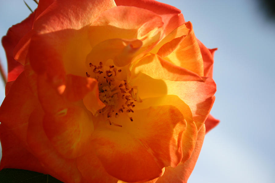 My Yellow Orange Rose Photograph by Connie Koehler