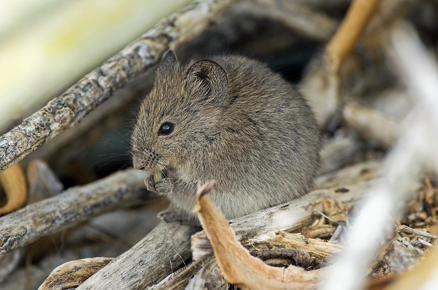 Animal Photograph - Namaqua Rock Mouse by Peter Chadwick