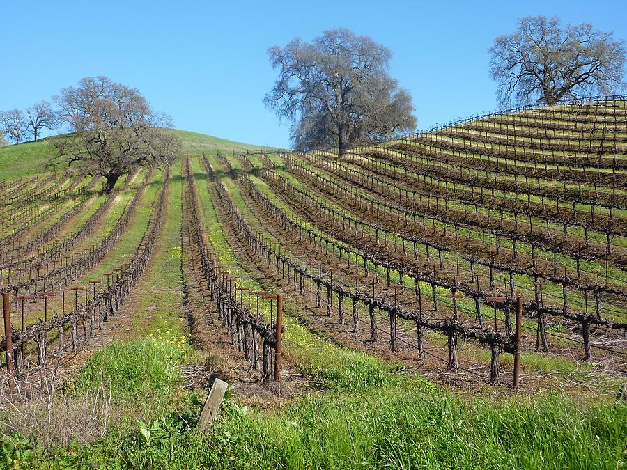A Beautiful Vineyard In Napa Photograph - Napa Vineyard by Tony Stroh