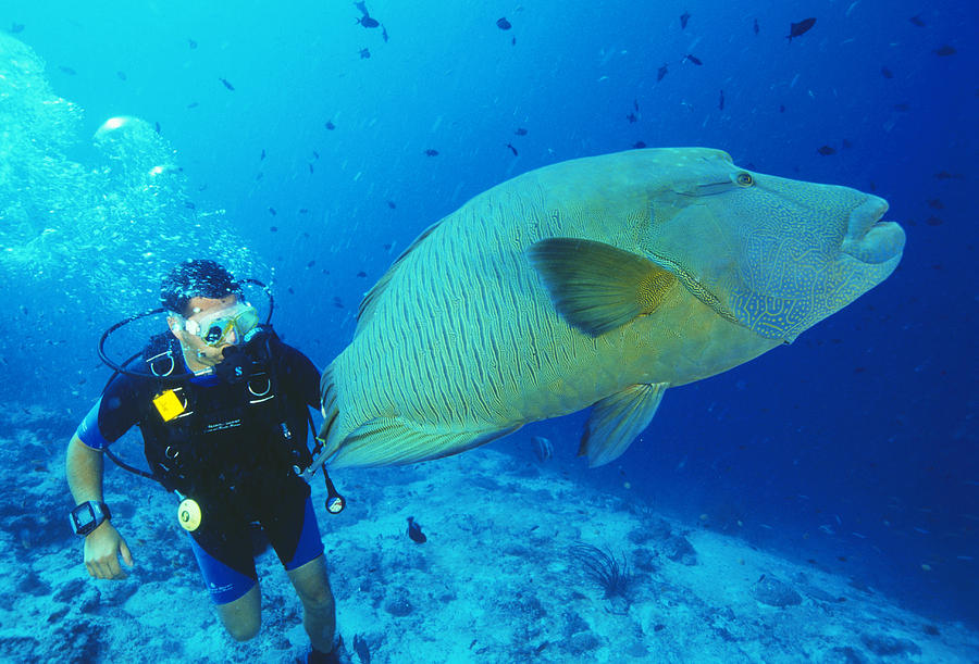 Wrasse Photograph - Napoleon Wrasse And Diver by Matthew Oldfield