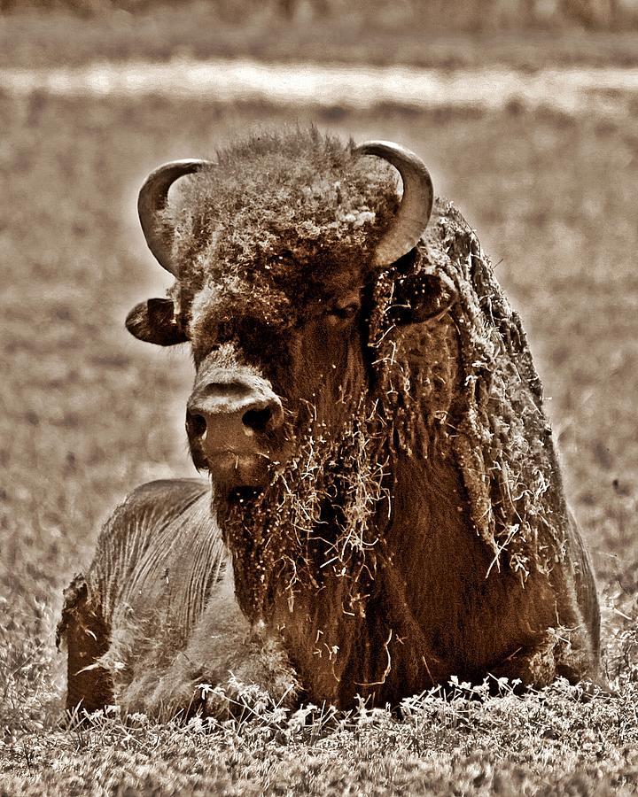 Buffalo Photograph - Napping Bison by Monica Wheelus