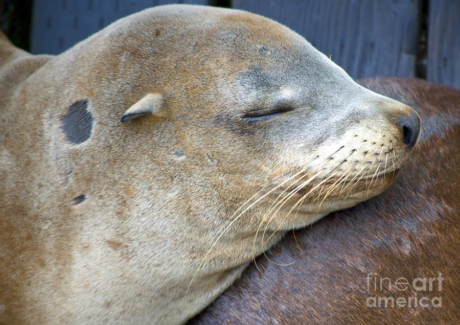 Sea Lion Photograph - Napping by Gwyn Newcombe