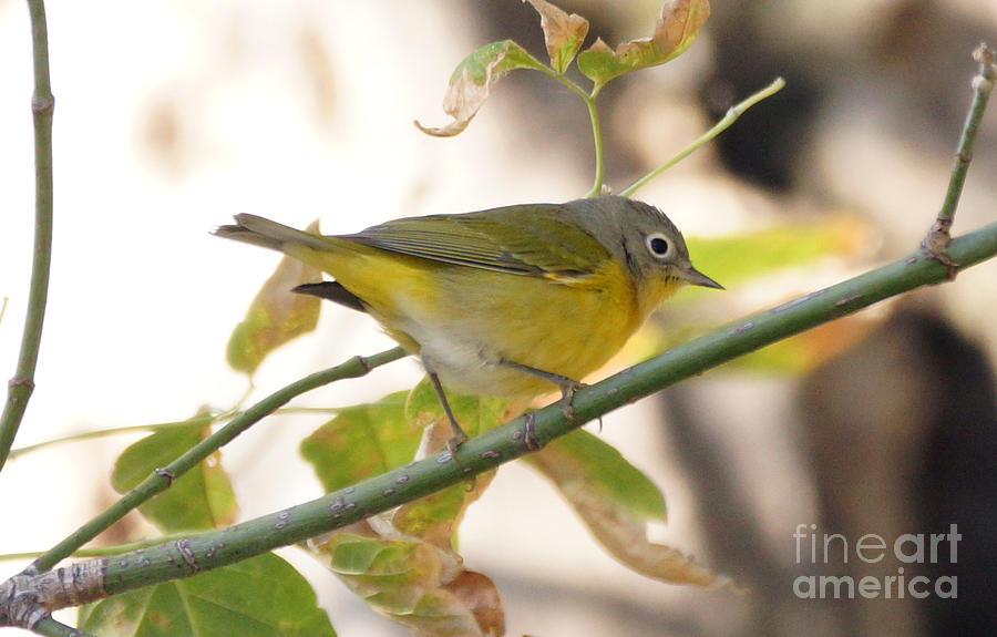 Birds Photograph - Nashville Warbler  by Lori Tordsen