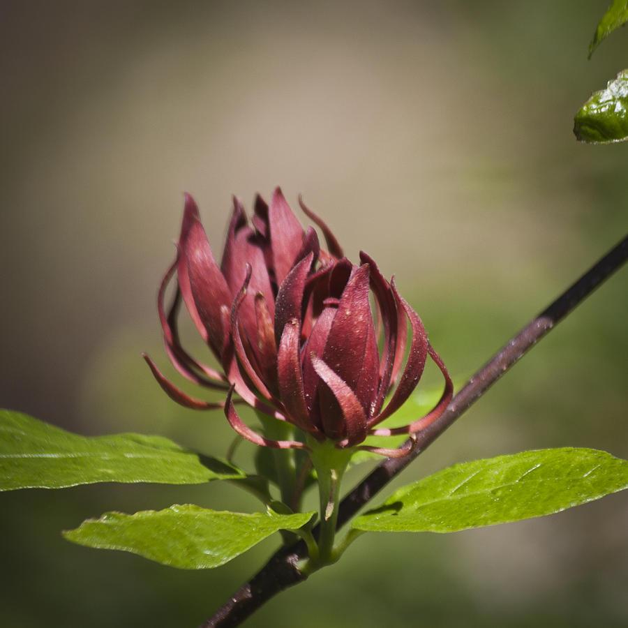 Native Sweetshrub Photograph