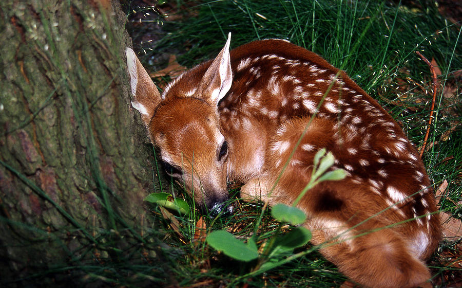 Deer Photograph - Natures Precious Creation by Skip Willits