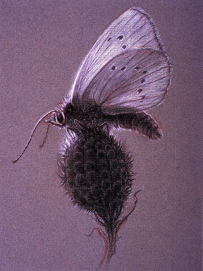 Butterfly Drawing - Nausithous Sketch by Shawn Kawa