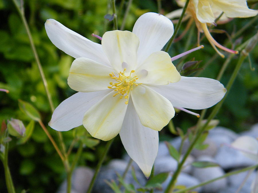 nearly white columbine flower photograph by mary sedivy, Beautiful flower