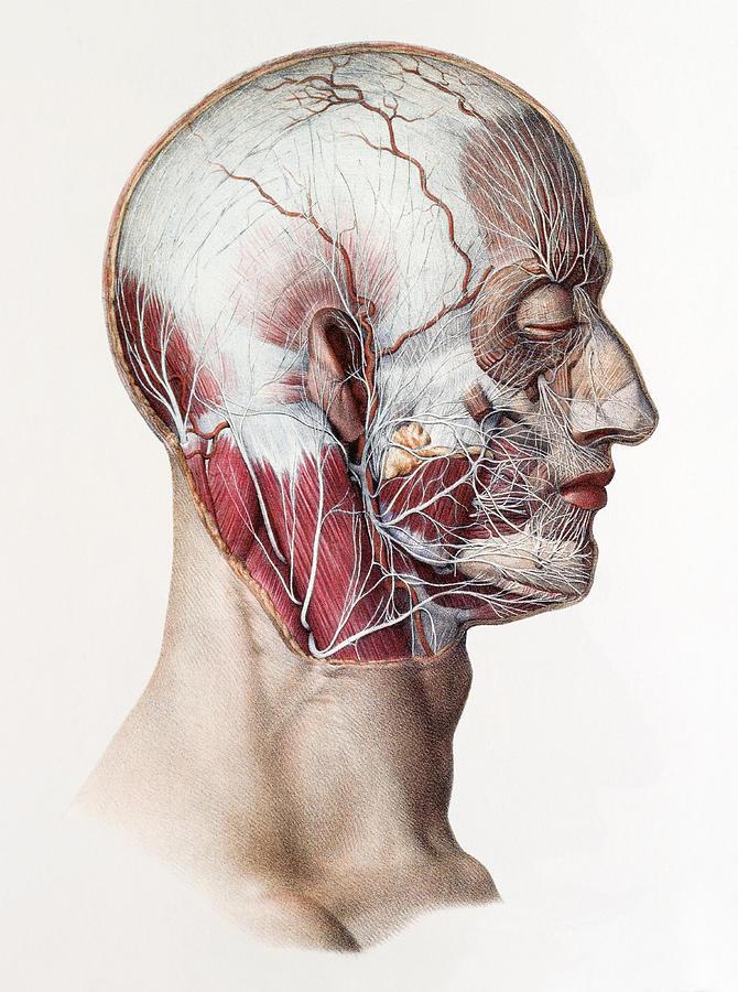 Human Photograph - Neck And Facial Nerves by Mehau Kulyk