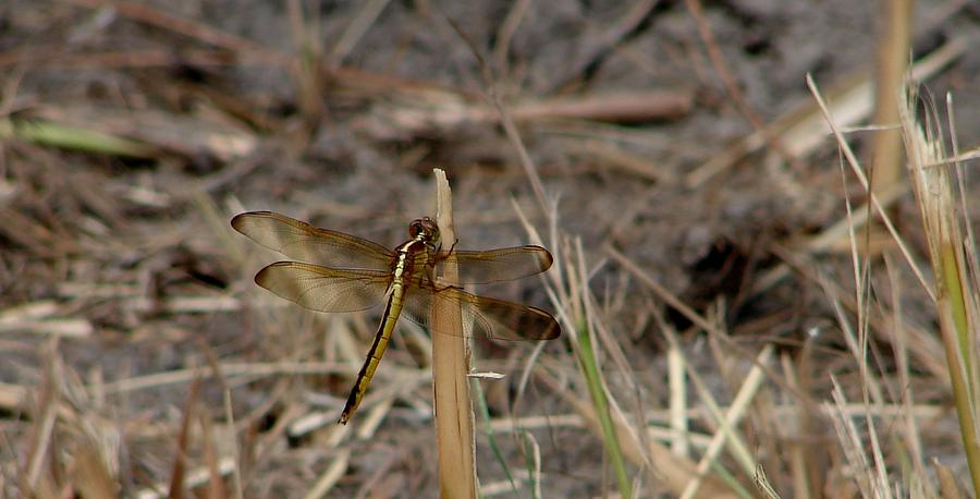 Dragonflies Photograph - Needhams Skimmer by Bruce W Krucke