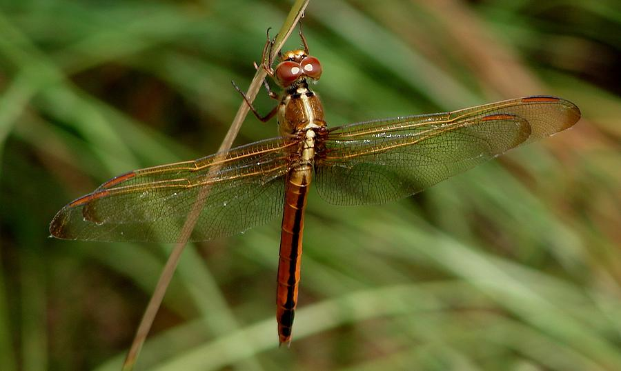 Dragonflies Photograph - Needhams Skimmer IIi by Bruce W Krucke