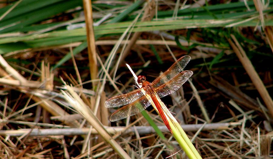 Dragonflies Photograph - Needhams Skimmer Iv by Bruce W Krucke