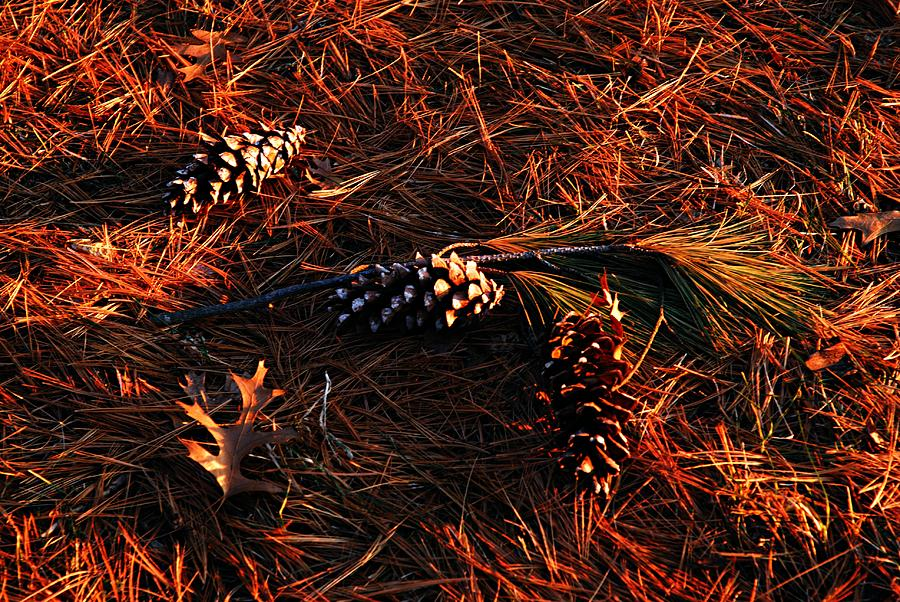 Nature Photograph - Needles Cones And Oak Leaf by Larry Ricker