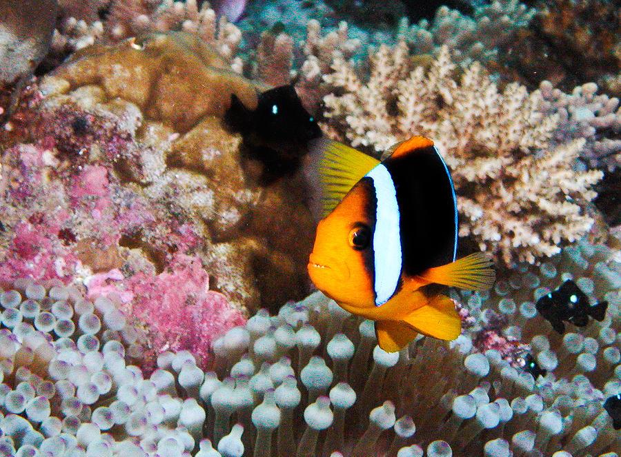 Underwater Photograph - Nemo by Jean Noren