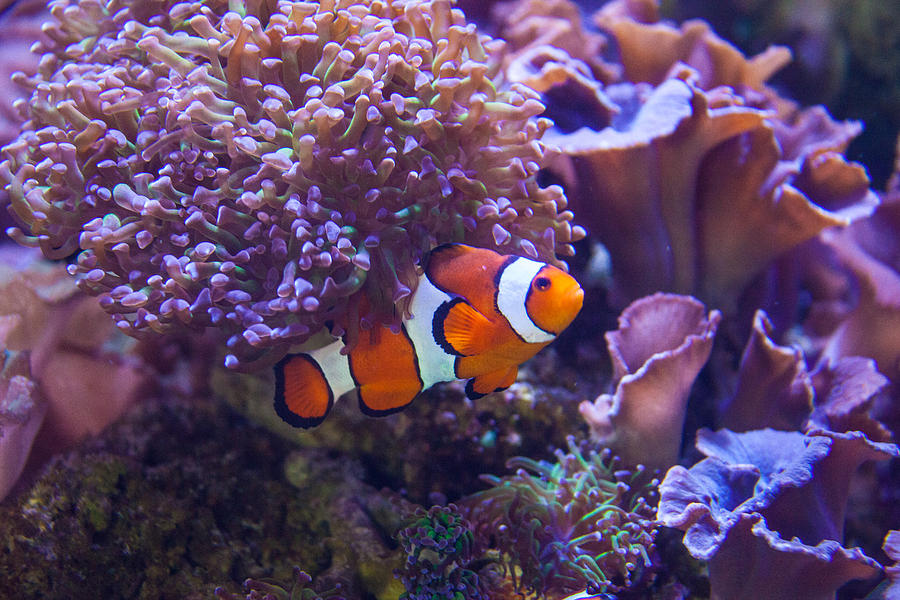 Fish Photograph - Nemo by Ralf Kaiser