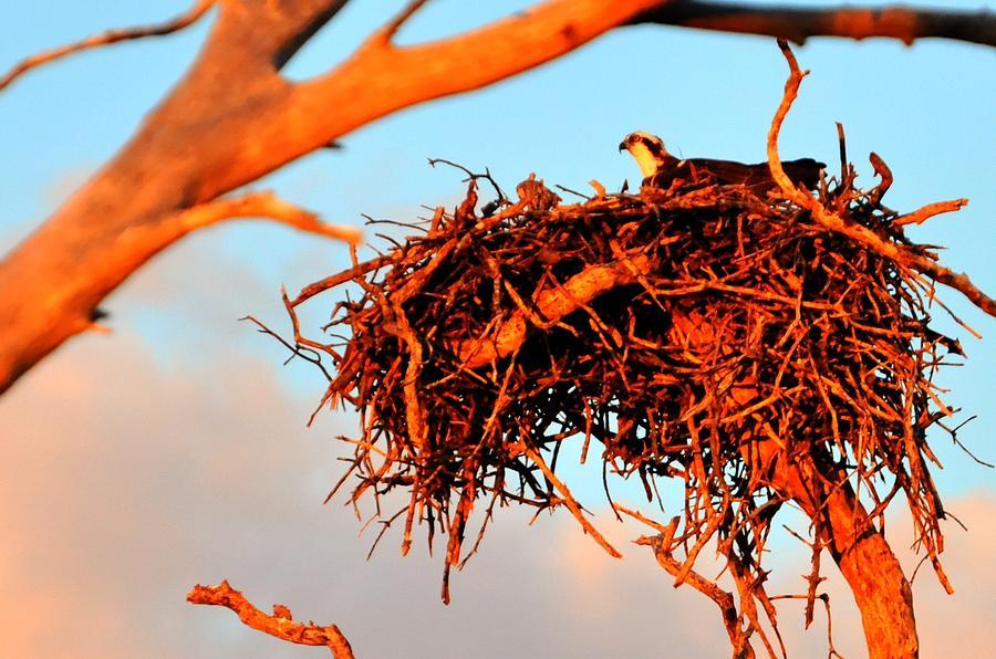 Great Blue Heron Digital Art - Nest by Barry R Jones Jr