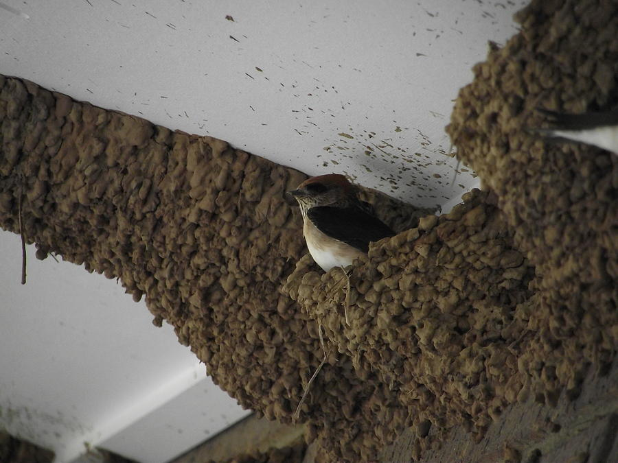 Bird Photograph - Nesting Bird by Coral Dudley