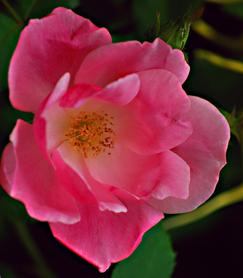 Flower Photograph - Never Ending Beauty by Michelle Cruz