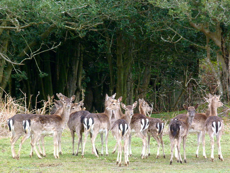 Wildlife Photograph - New Forest Deer by Karen Grist
