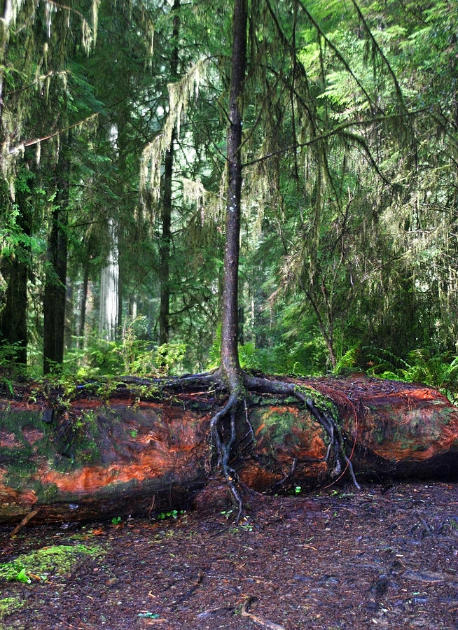 Redwood Photograph - New Growth by Anthony Jones