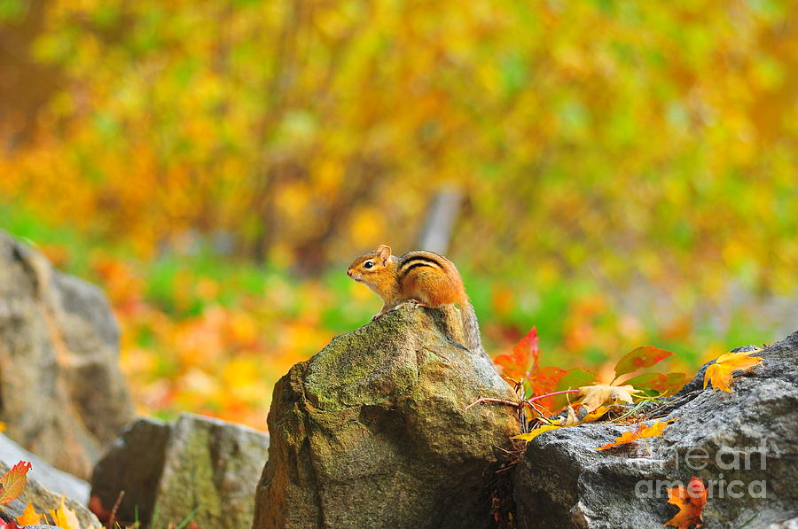 Chipmunk Photograph - New Hampshire Chipmunk by Catherine Reusch Daley