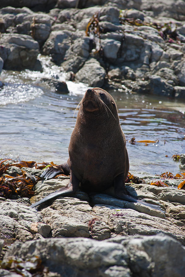Seal Photograph - New Zealand Fur Seal by Graeme Knox