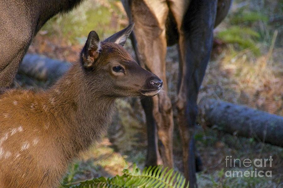 Sean Griffin Photograph - Newborn Elk by Sean Griffin