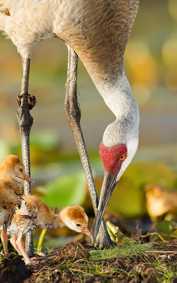 Crane Photograph - Newborn Sandhill Cranes by Scott Helfrich