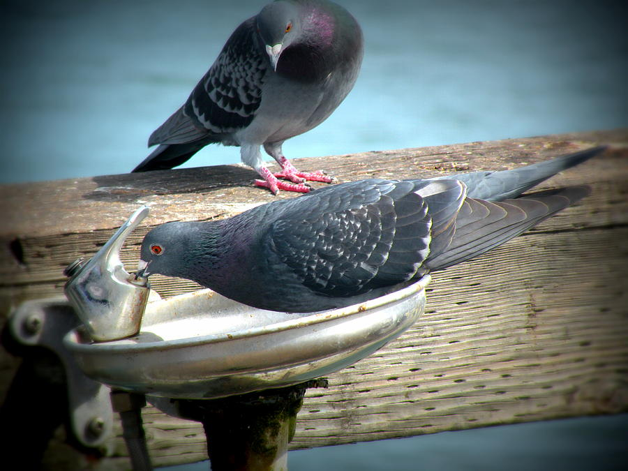 Pigeon Photograph - Next by Andrea Cullinane