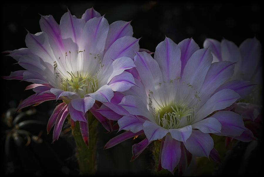 Night Blooming Cactus Flowers Photograph By Saija Lehtonen